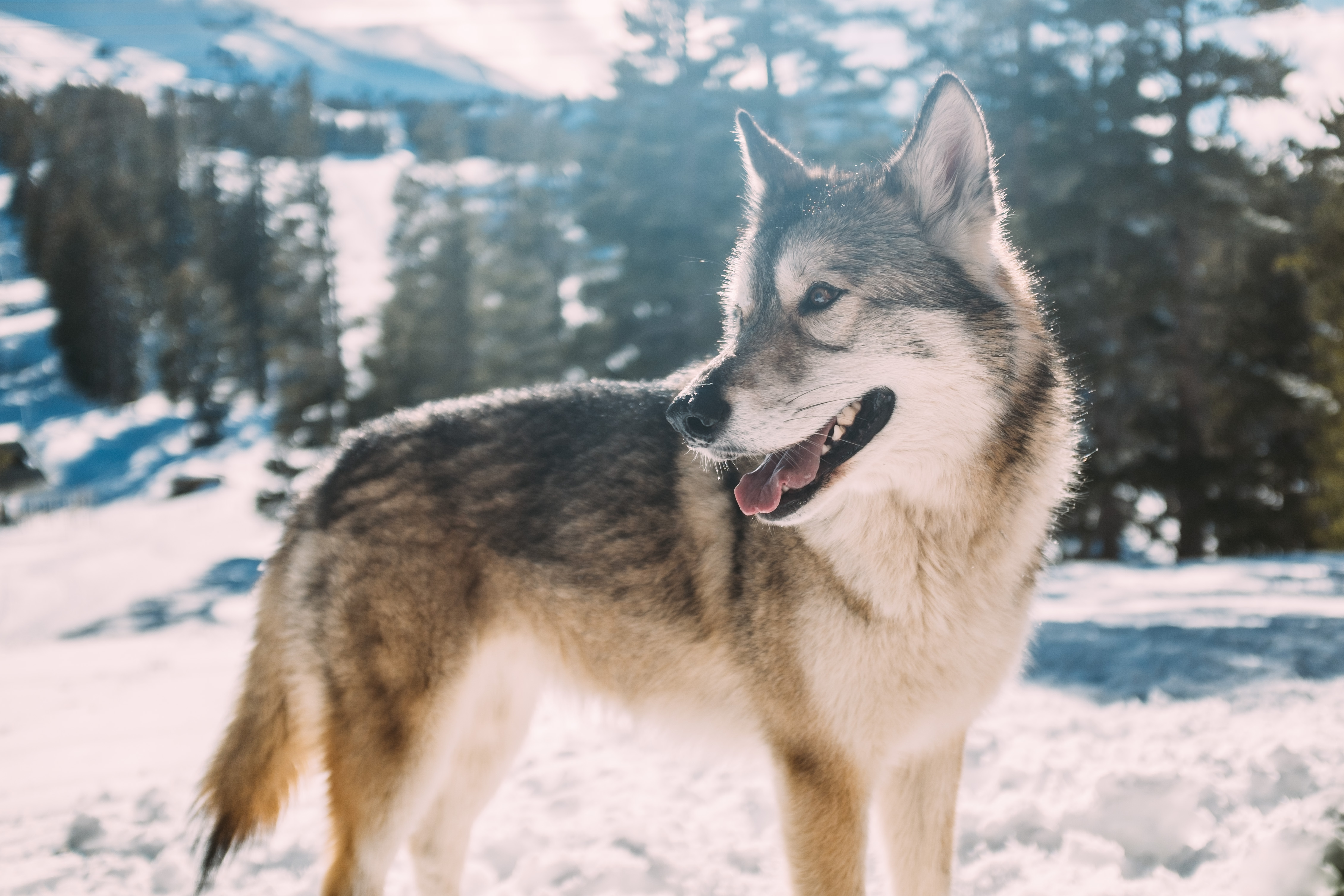 Free Winter Animal Wallpaper Dog Pet Siberian Husky And Timber Wolf Hd Photo By