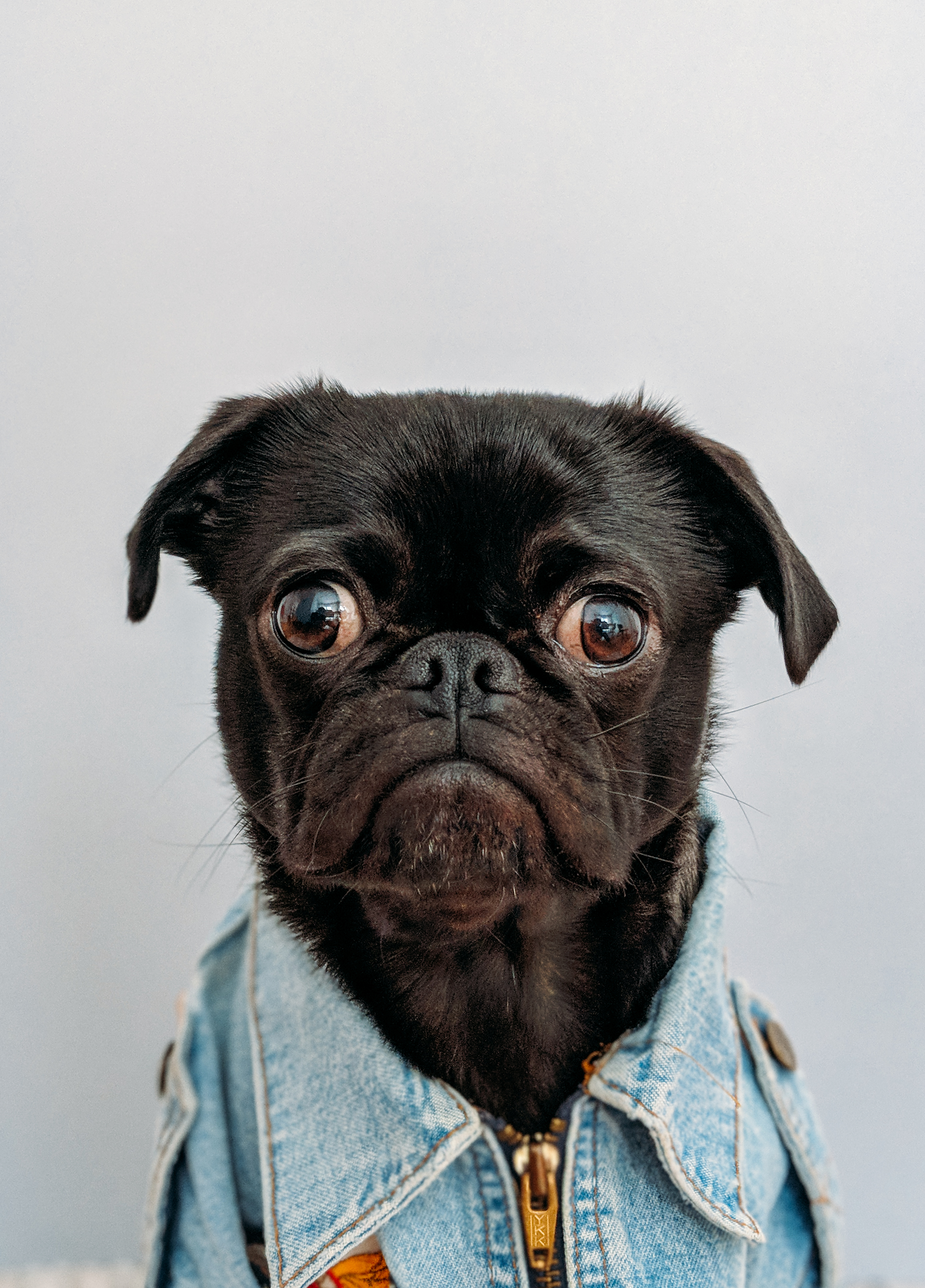 1000 Wallpapers Cute 100 Pug Pictures Download Free Images On Unsplash