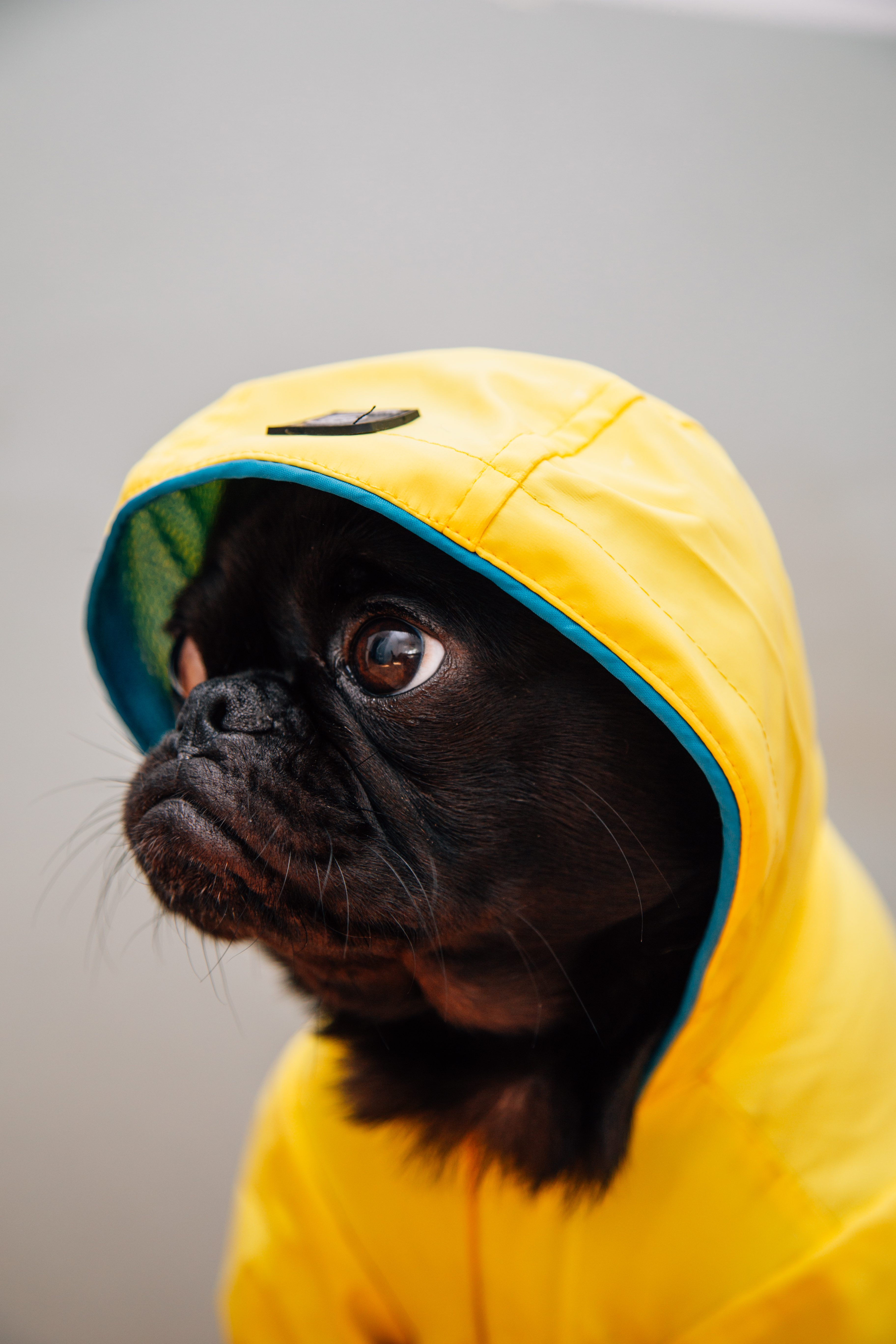Cute Pug Puppies Wallpapers 100 Cute Pictures Hd Download Free Images Amp Stock