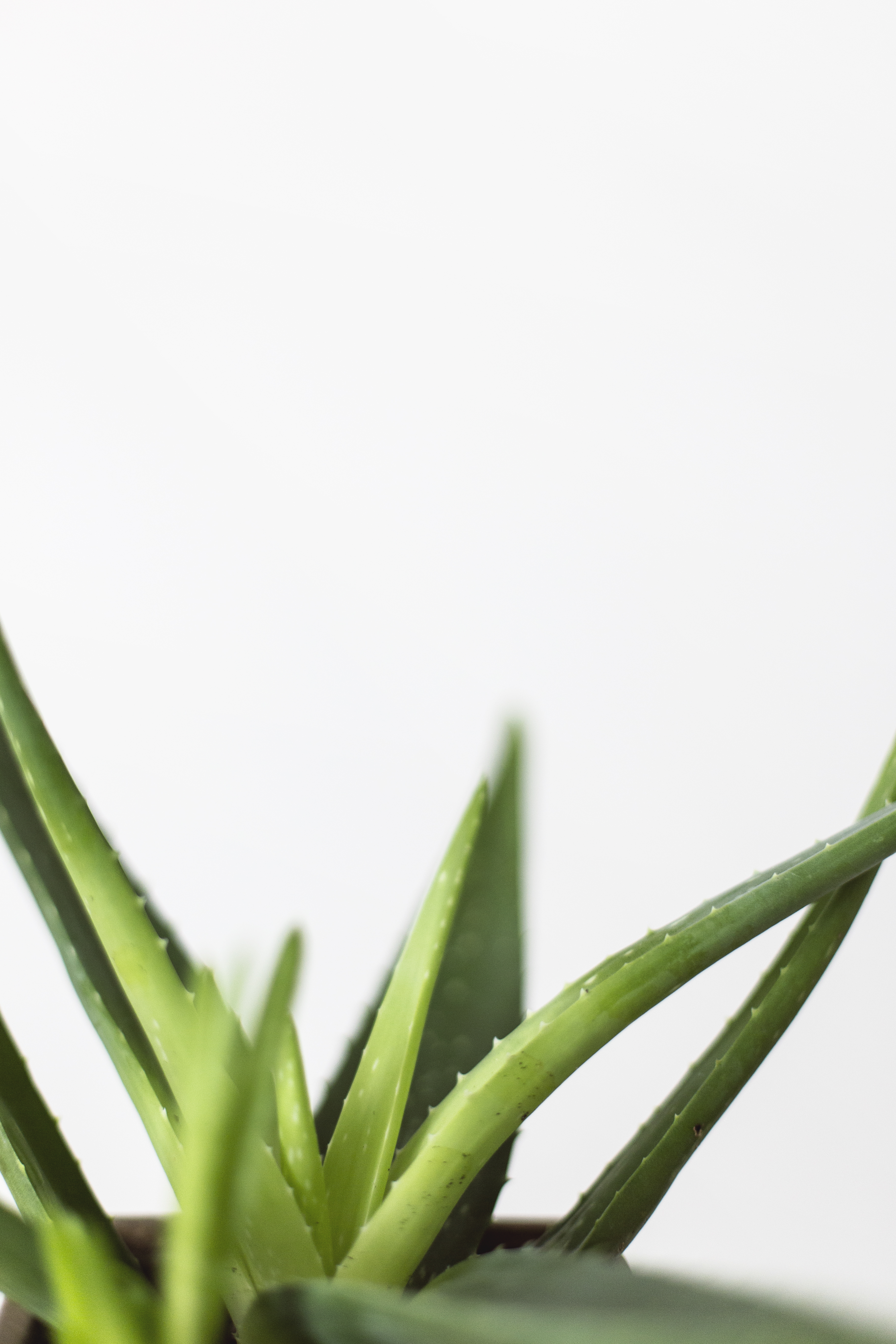 Alo Vera 100 Aloe Vera Pictures Hd Download Free Images On Unsplash