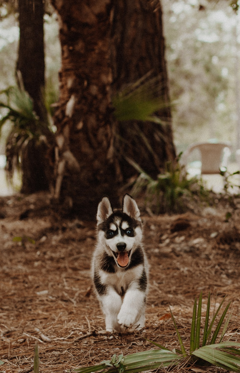 Cute Brown Wallpaper Husky Pictures Download Free Images On Unsplash