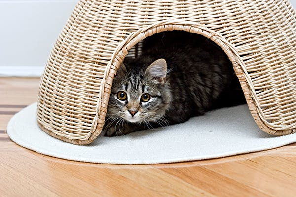 Blood in the Stool in Cats - Symptoms, Causes, Diagnosis, Treatment