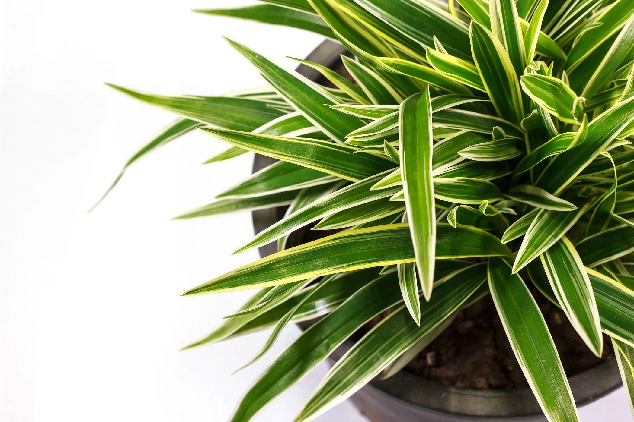 Dracaena Plant Dracaena Poisoning In Dogs Symptoms Causes Diagnosis