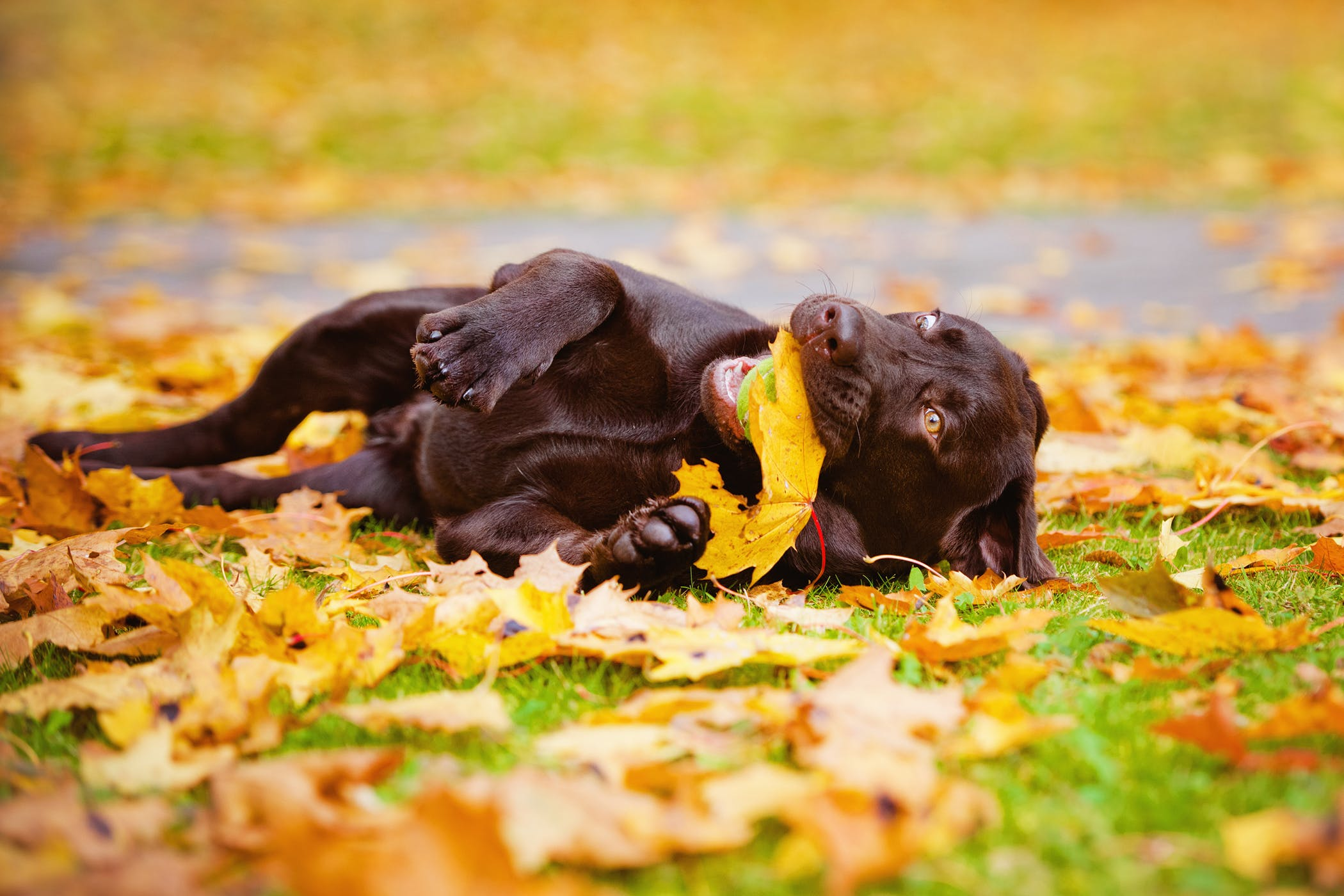 Fall Pug Wallpaper Gastric Lavage In Dogs Procedure Efficacy Recovery