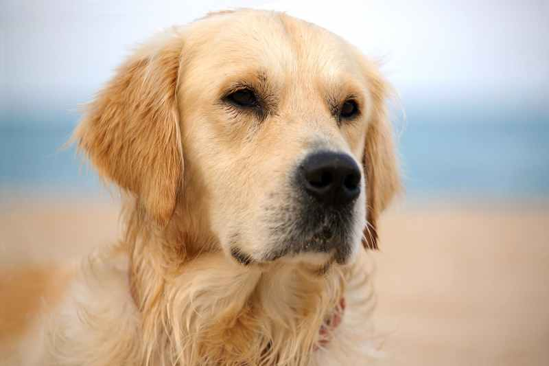 Large Of Golden Retriever Cost