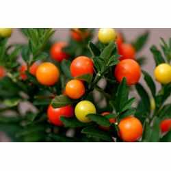 Small Crop Of Ornamental Pepper Plant