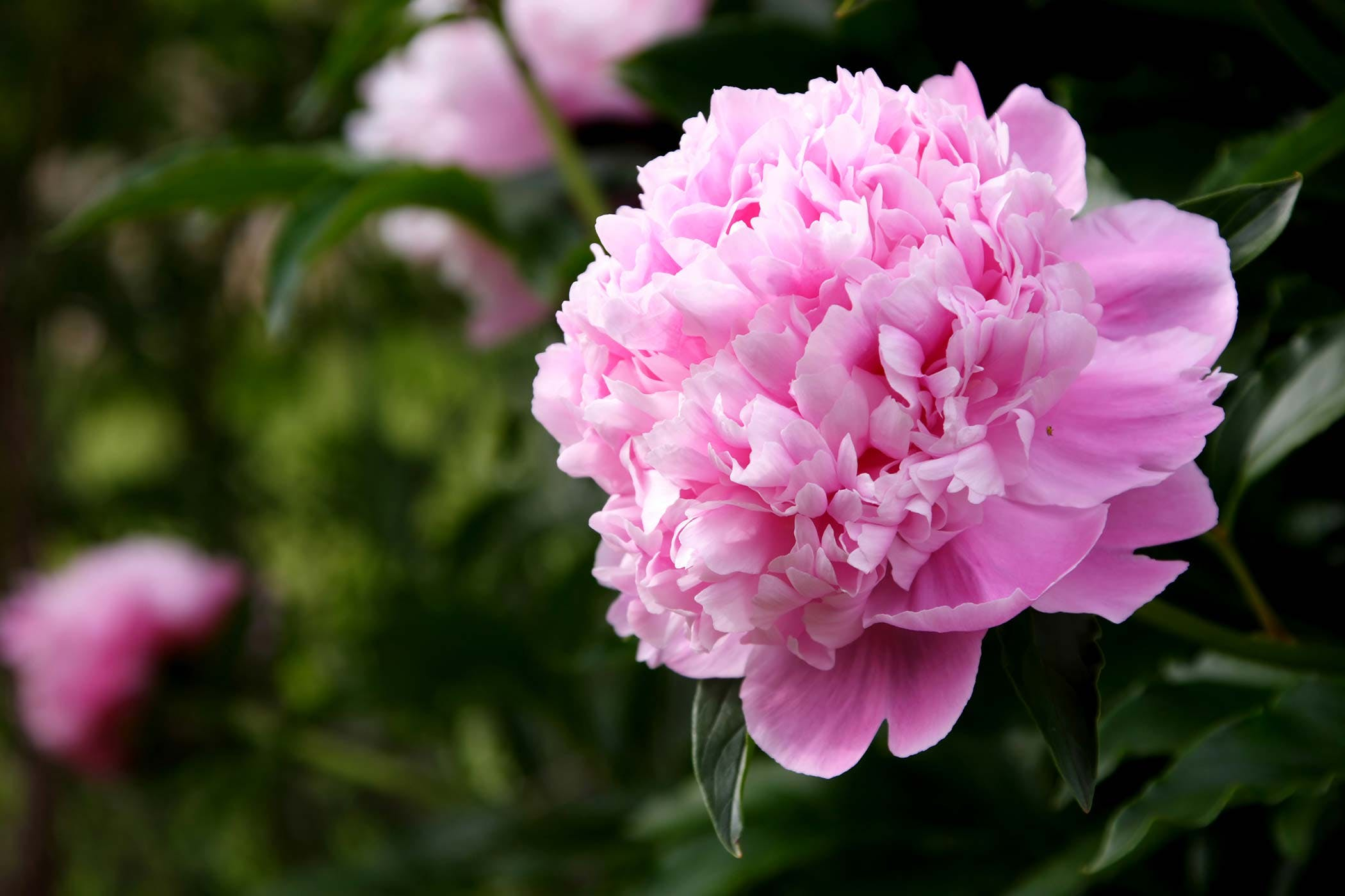 Pianese Flowers Peony Poisoning In Dogs Symptoms Causes Diagnosis Treatment