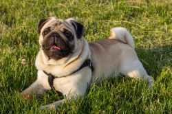 Small Of Pug Life Span