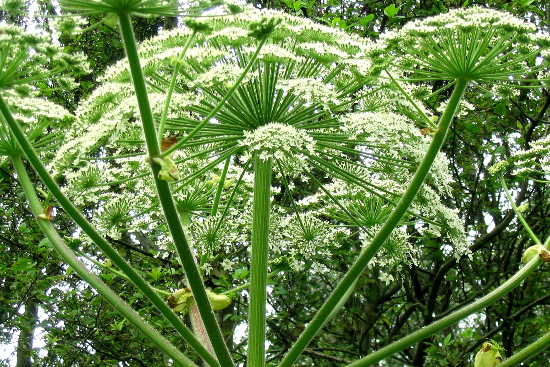 Giant Hog Weed Giant Hogweed Poisoning In Horses - Symptoms, Causes