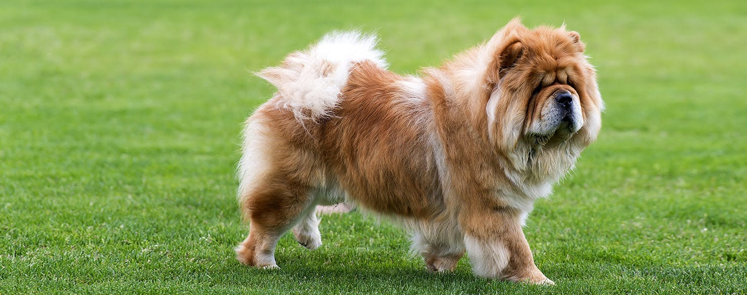 Enticing Information Dog Walking Ancient Japanese Dog Breeds Ancient Dog Breeds Height Chow Chow Dog Breed Facts bark post Ancient Dog Breeds