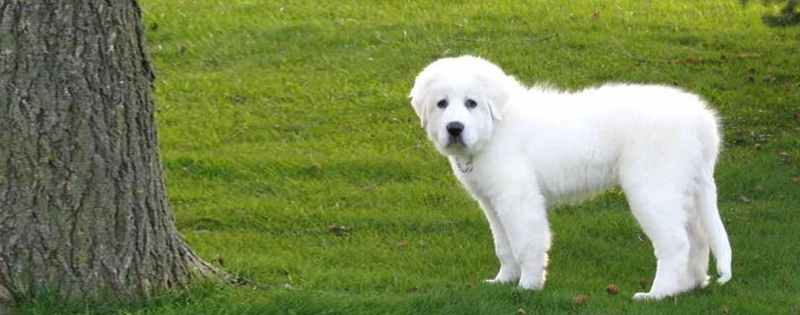Large Of Big White Fluffy Dog