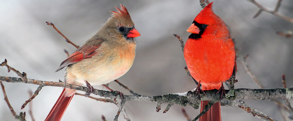 Fall Bird Feeder Wallpaper Where Do Cardinal Birds Live Pictures To Pin On Pinterest