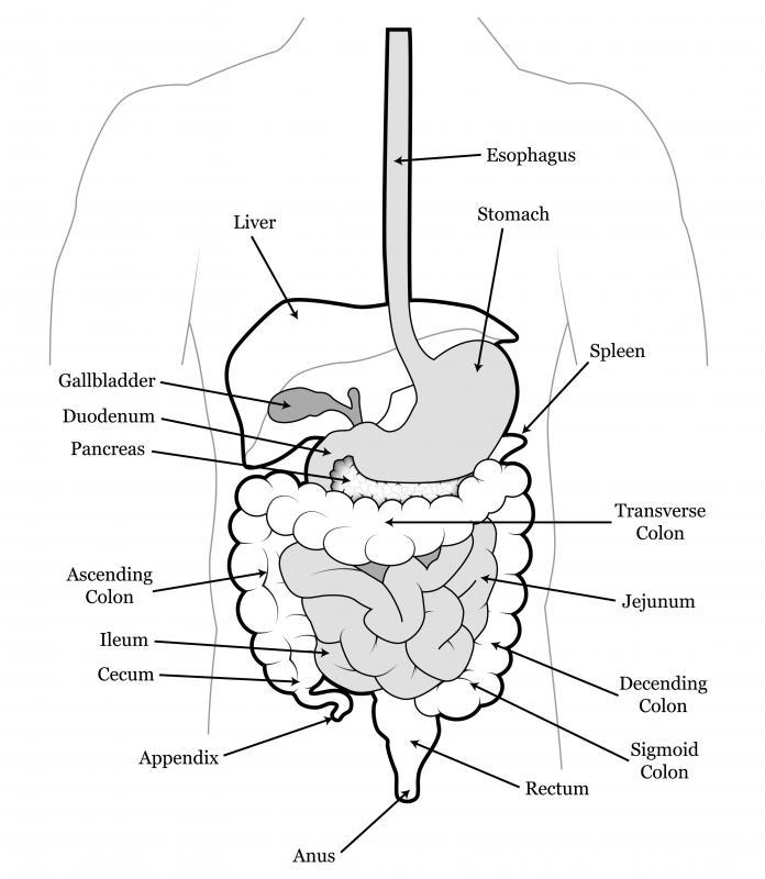 diagram of duodenum
