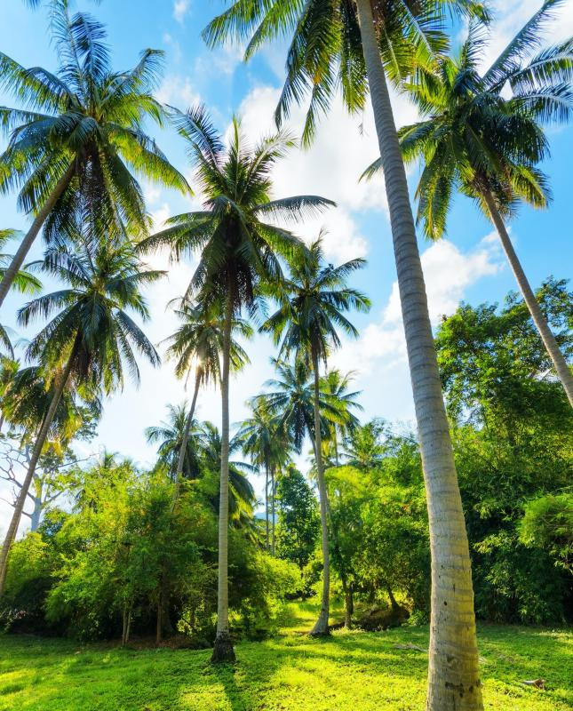 Wallpaper Art Falling What Is A Coconut Palm Tree With Pictures