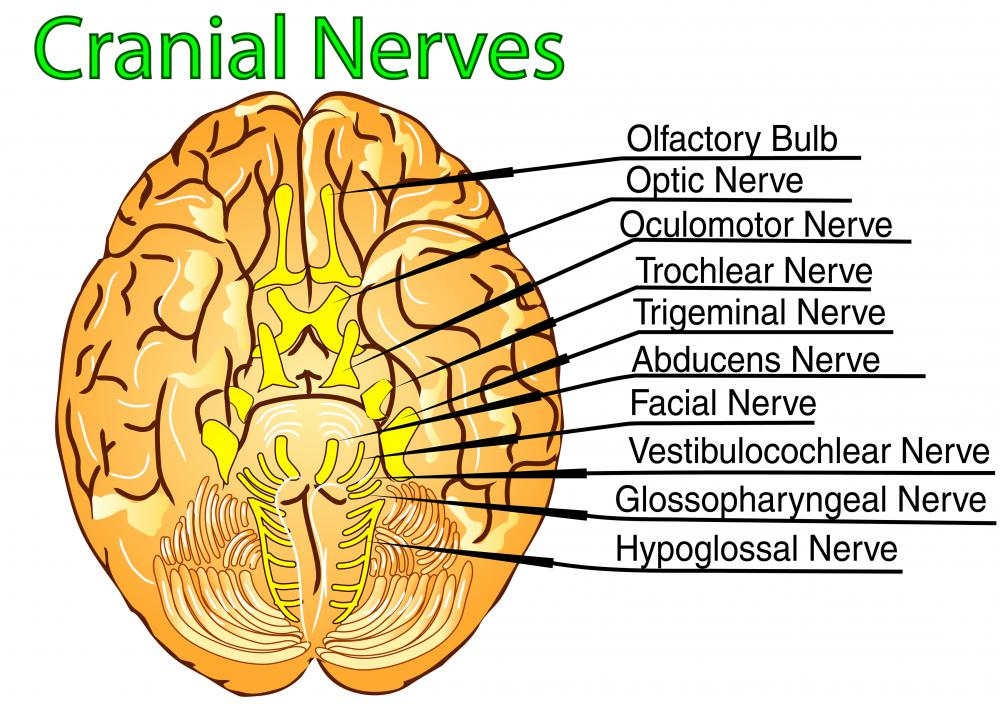 What is the Eighth Cranial Nerve? (with pictures)