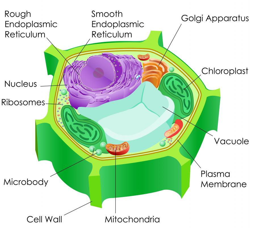 What Are the Different Types of Ribosomes? (with pictures)