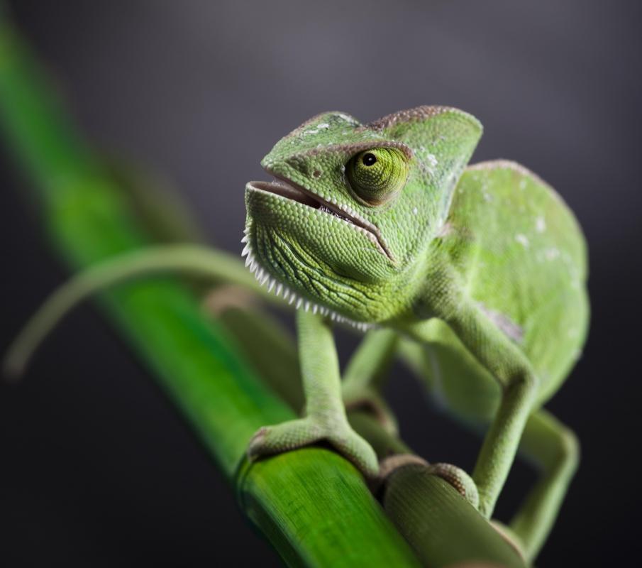 Veiled chameleon skeleton - photo#19