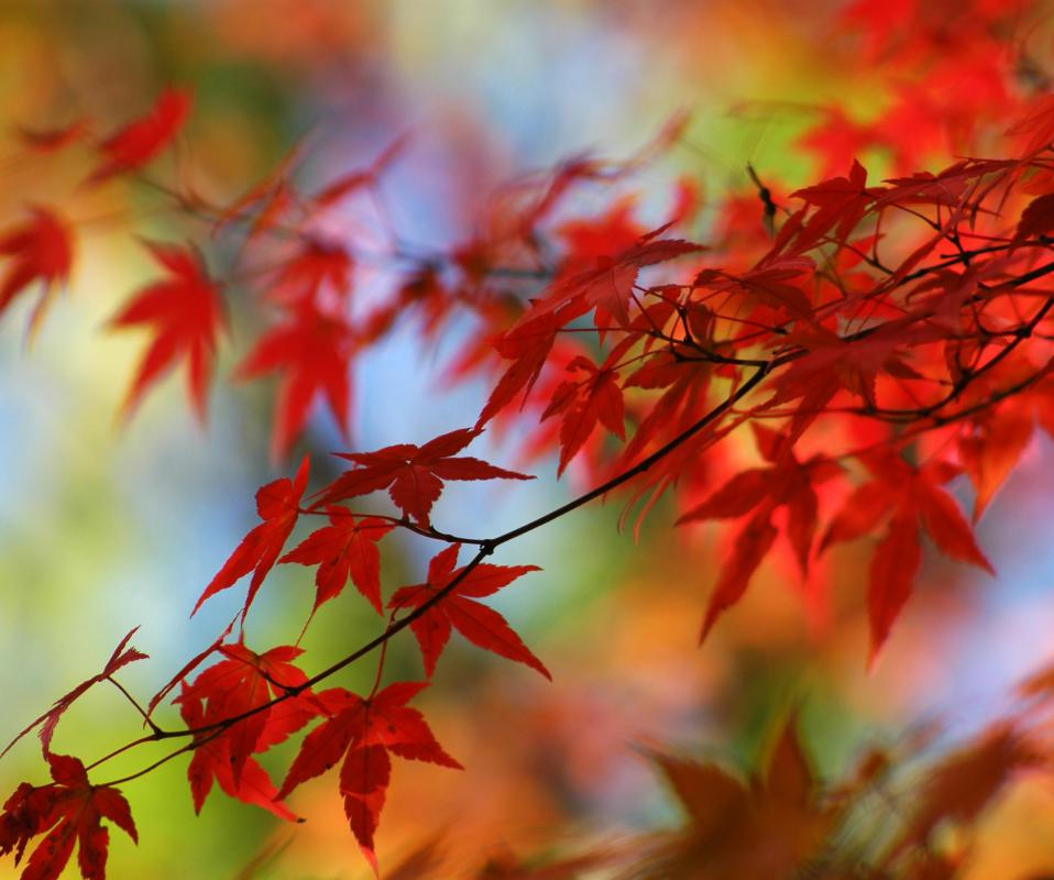 Maple Leaf Wallpaper For Fall Season What Trees Provide The Best Fall Colors With Pictures
