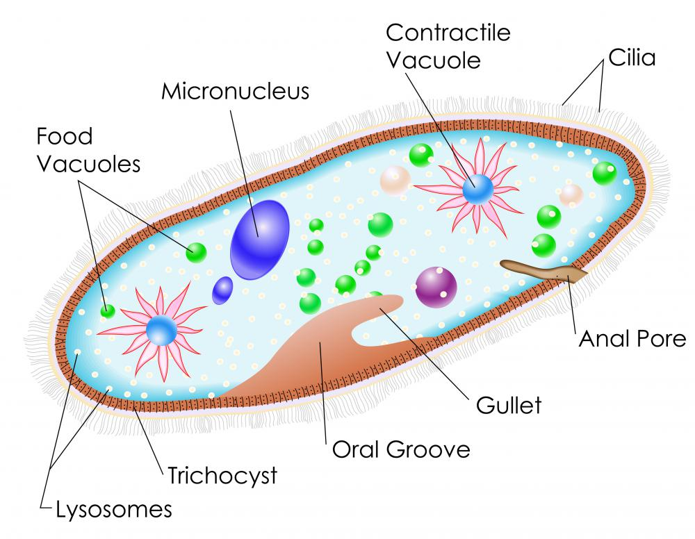 What is Phagocytosis? (with pictures)