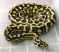 OT- Trophy 2013 Male IJ Jungle Jaguar Carpet Python $500 ...