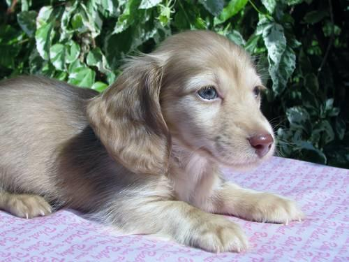 Adorable Akc Long Haired Mini Dachshund Puppies 8 Weeks