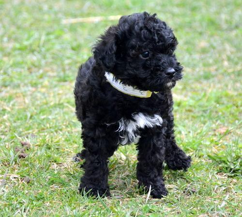 Paypal Dew Aussiedoodle Puppy For Sale - Adoption, Rescue For Sale In