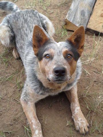 Pitbulls Fall Wallpaper Australian Cattle Dog Puppies Blue Heeler For Sale In