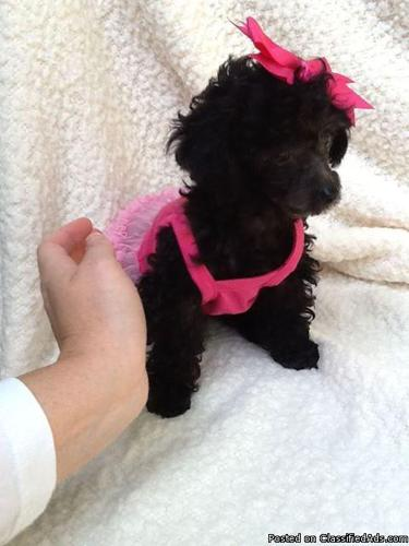 Cute Baby Puppy Pictures Wallpaper Teacup Poodle Black For Sale In Fairfield Bay Arkansas