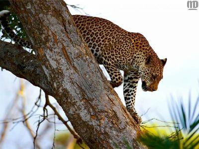 Leopard - The Animal Kingdom Wallpaper (1139065) - Fanpop