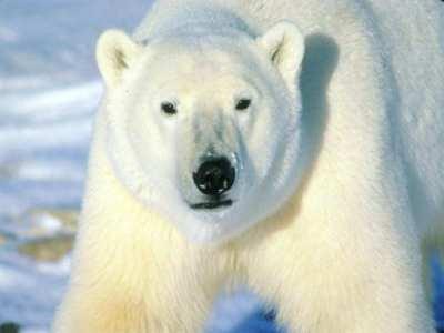 Polar Bear - The Animal Kingdom Wallpaper (1139109) - Fanpop