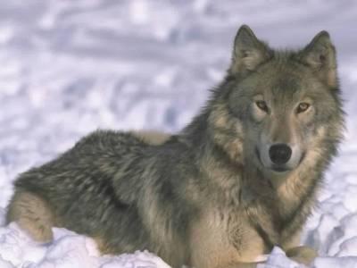 Wolf - The Animal Kingdom Wallpaper (1139134) - Fanpop