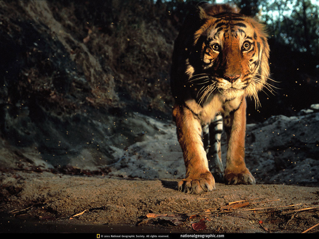 Bengal Tigers From National Geographic Bengal Tiger Research Religious Wallpapers Free Downloads Radical Pagan