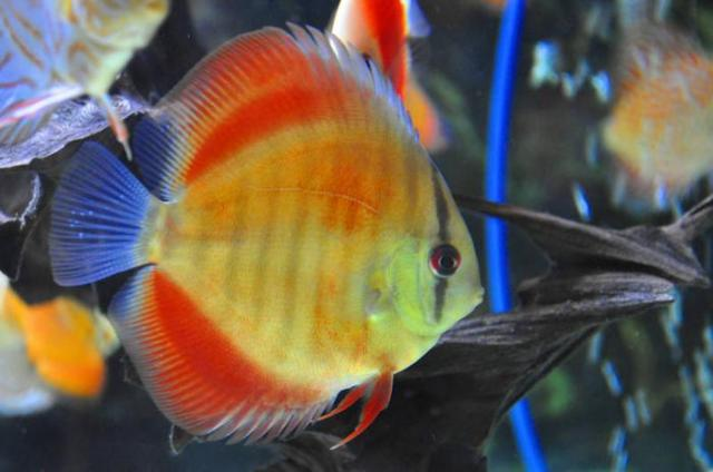 Red Virgin discus for sale in Calgary, Alberta   Local Market Pets