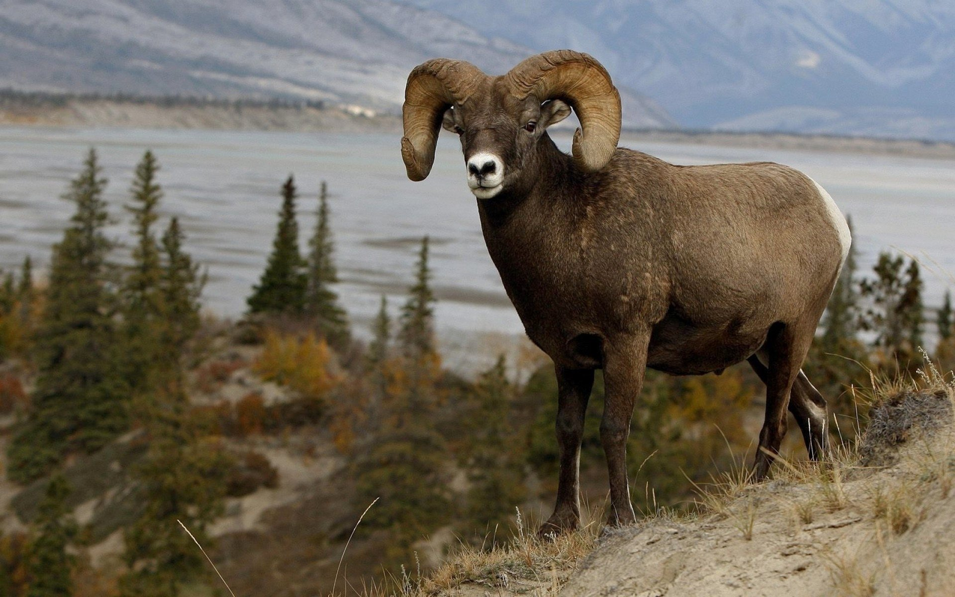 Fall Scenery Hd Wallpaper Mountain Sheep Full Hd Wallpaper And Background Image