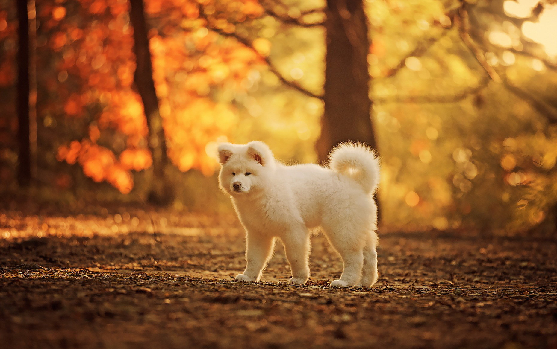 Cute Pet Animals Hd Wallpapers 14 Akita Hd Wallpapers Background Images Wallpaper Abyss