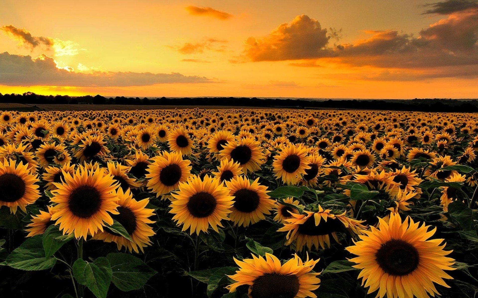 Fall Sunflower Desktop Wallpaper Sunflower Field At Sunset Full Hd Wallpaper And Background