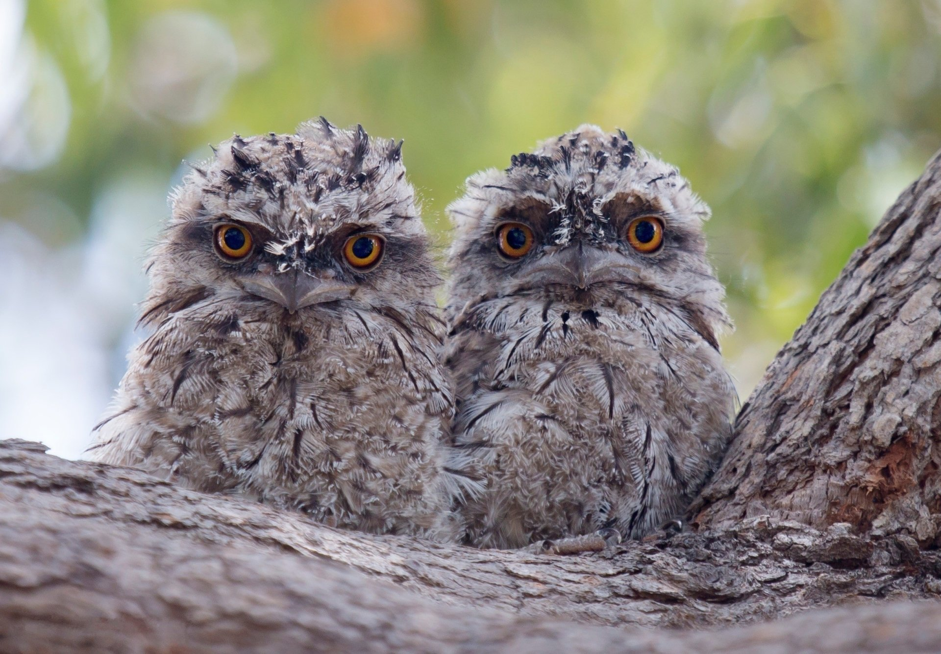 Cute Wallpapers For Facebook Cover Photo Two Owlets On A Tree Branch Hd Wallpaper Background
