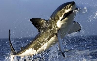 195 Shark HD Wallpapers   Backgrounds - Wallpaper Abyss