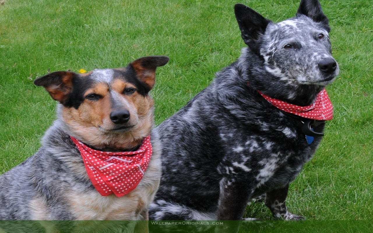 Australian Cattle Dog Australian Cattle Dogs Dogs Wallpaper 13984329 Fanpop