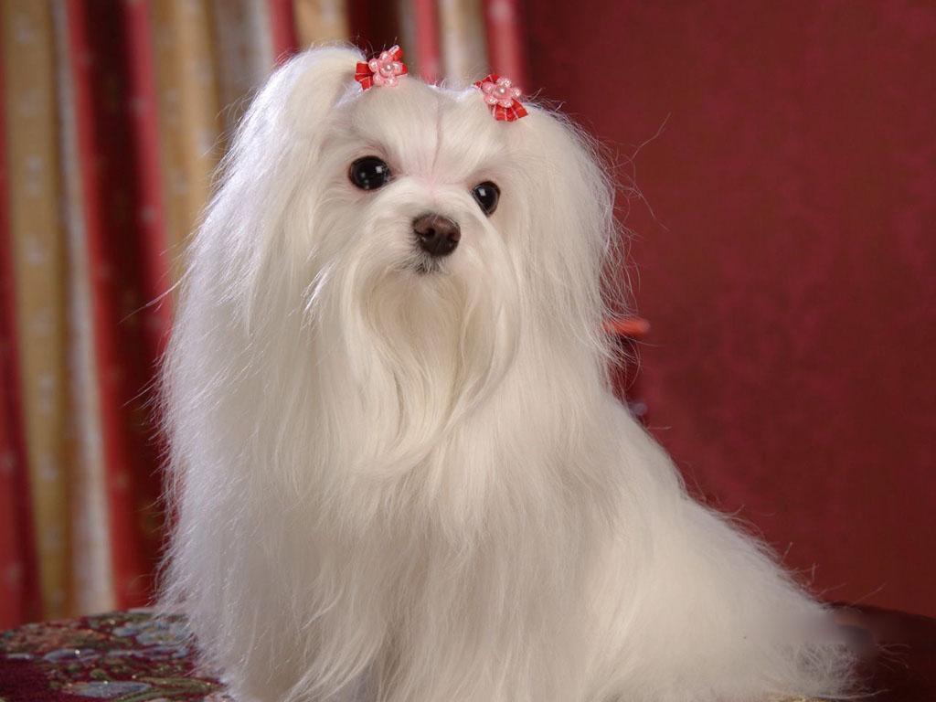 Cute White Dogs Wallpapers Maltese Dogs Wallpaper Dogs Wallpaper 13937341 Fanpop