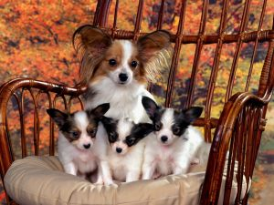 Chihuahua Dogs Puppy