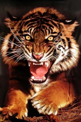 Roaring Tiger Hd Wallpaper What Kind Of Tiger Is This