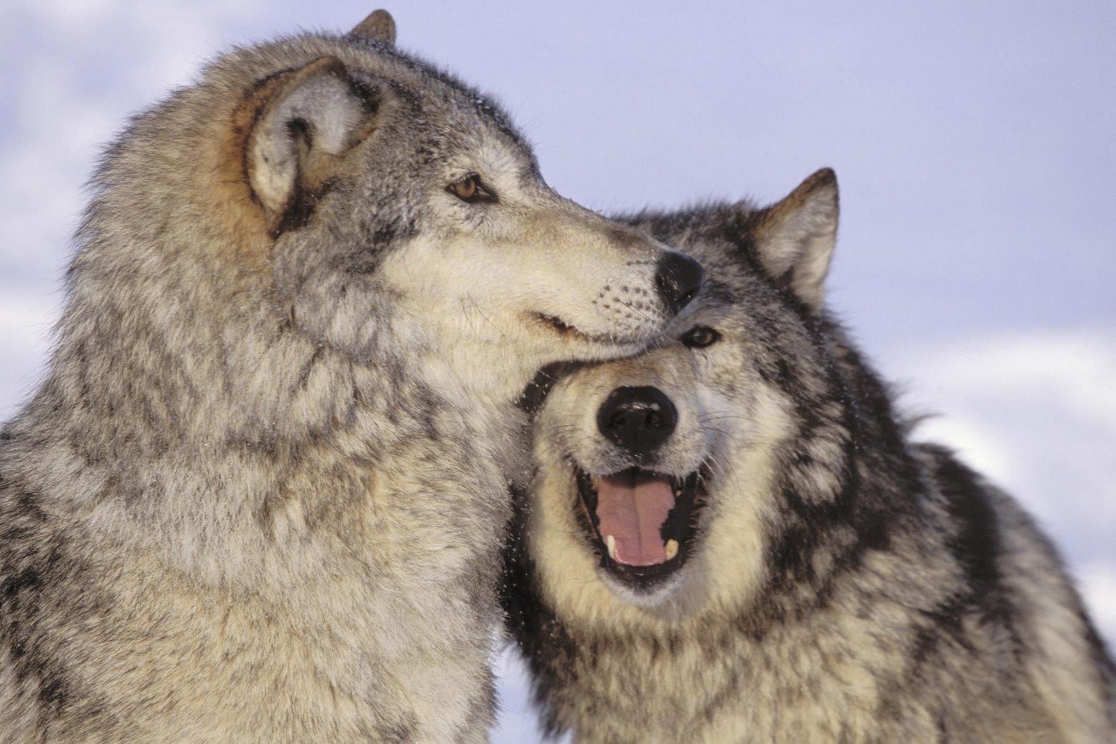 Cute Husky Wallpaper Hd Save The Alaskan Wolves Images Alaskan Wolves Playing