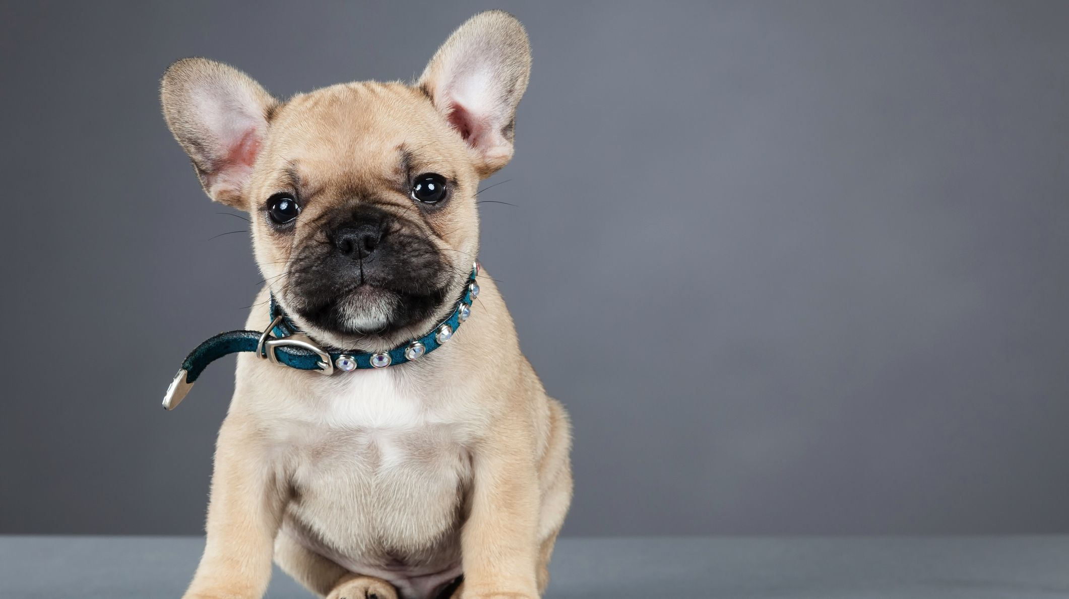 11 Facts About French Bulldogs Mental Floss