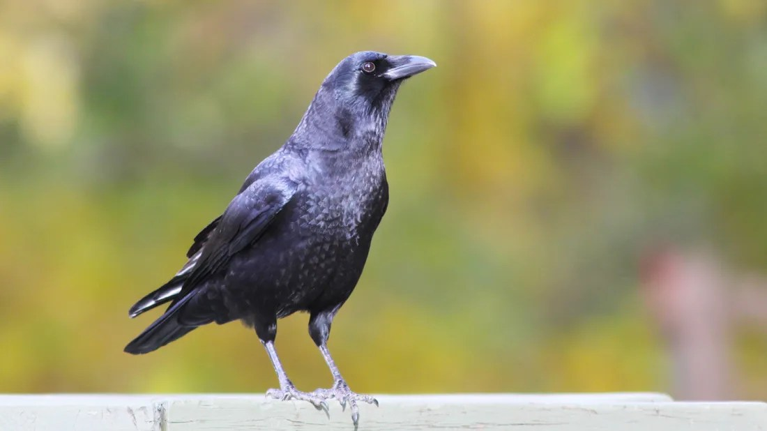12 Fascinating Facts About Crows Mental Floss