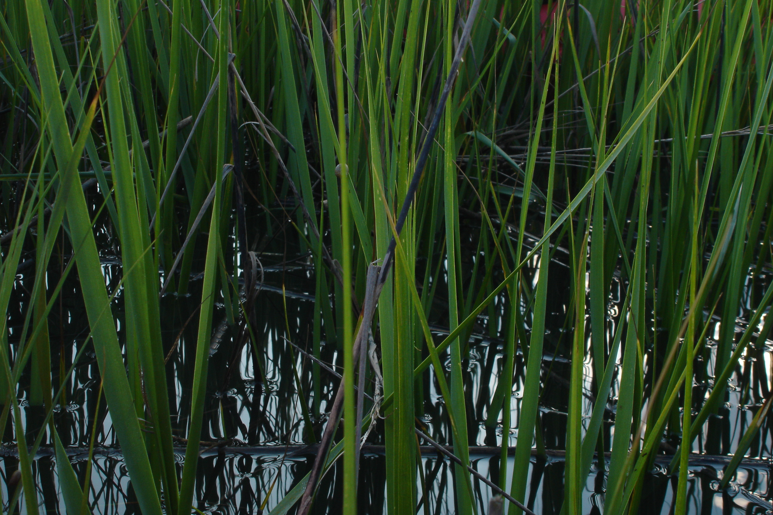 Grass Reeds Pics4learning