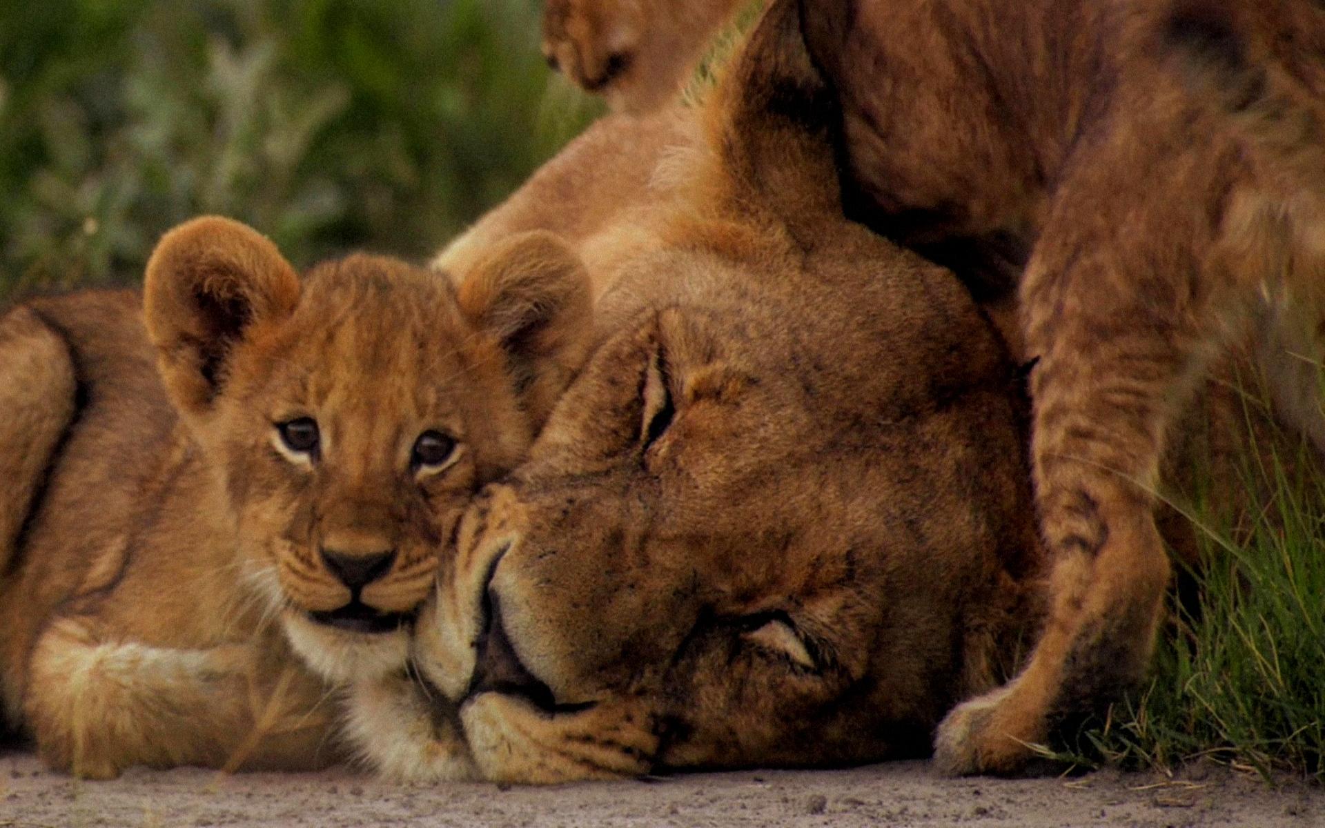 Cute Tiger Cubs Hd Wallpapers Lion Full Hd Fond D 233 Cran And Arri 232 Re Plan 1920x1200