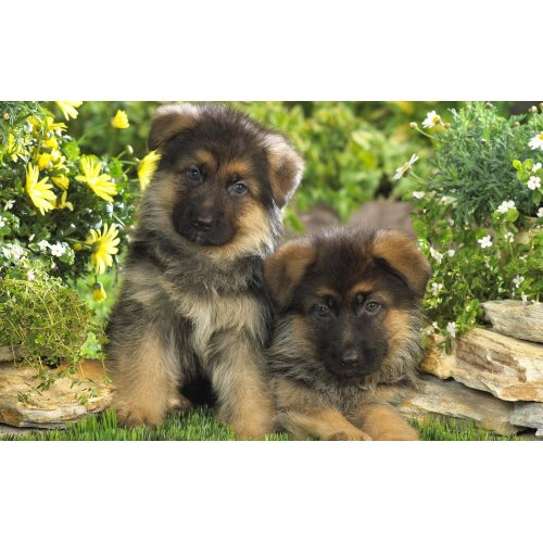 Medium Crop Of Cute German Shepherd