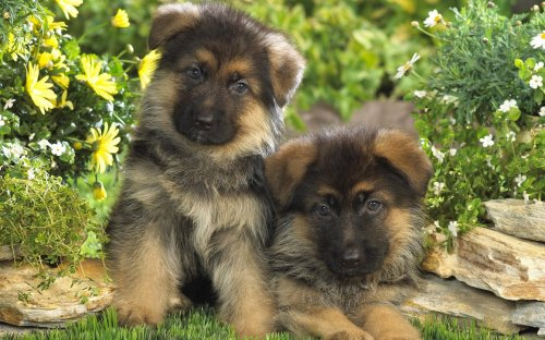 Medium Of Cute German Shepherd