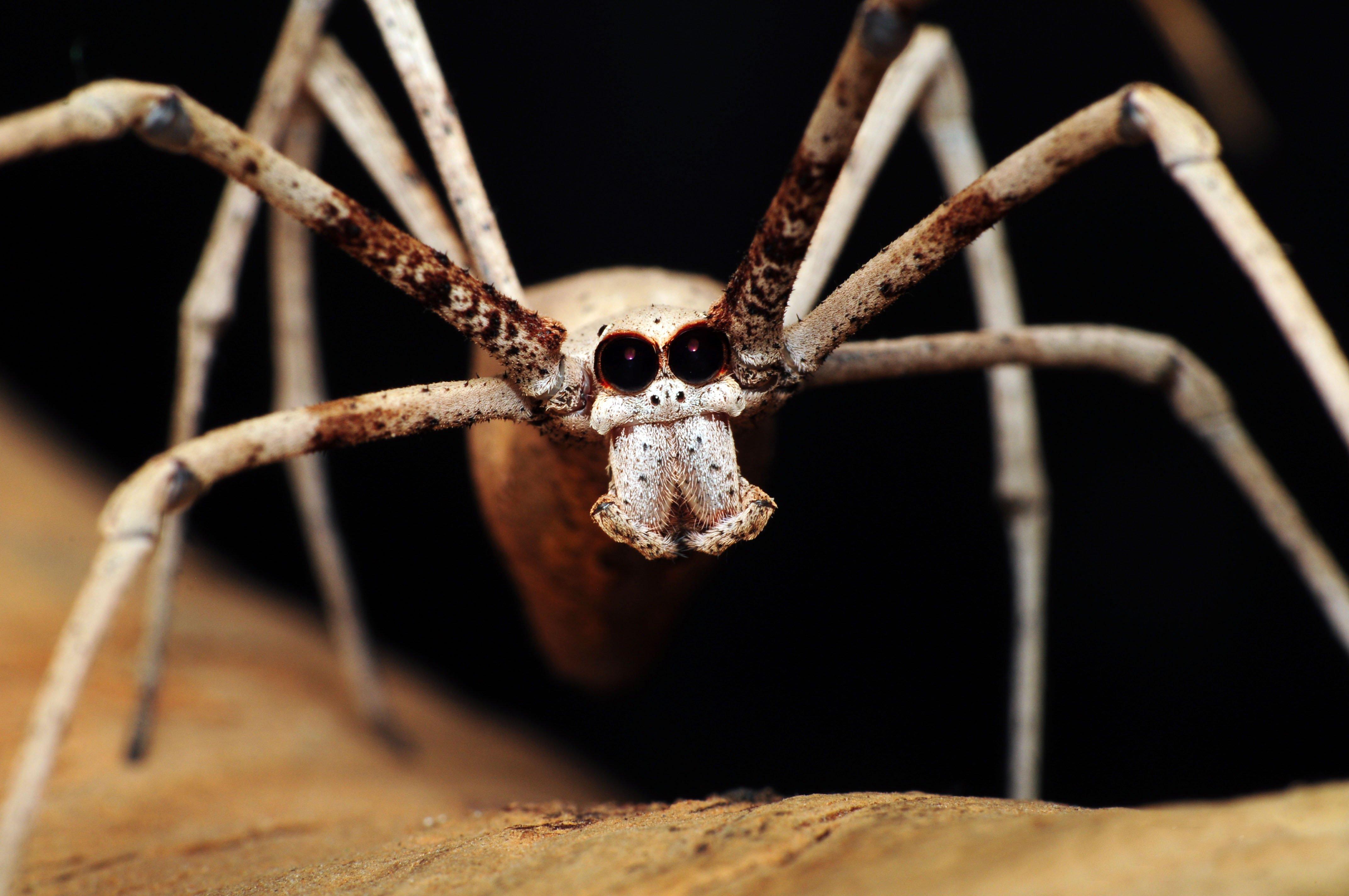 Cute Jumping Spider Wallpaper Spider 4k Ultra Hd Wallpaper Background Image
